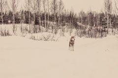 Siberian Husky in the winter forest. tinted. Siberian Husky in the winter forest in cloudy day. tinted Royalty Free Stock Photography