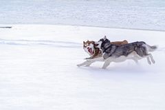 Siberian husky winter. Happy husky dog run in snow. Beautiful siberian husky Snow dogs. Dog sled. Copy space royalty free stock images