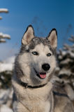 Siberian husky winter portrait Royalty Free Stock Photography
