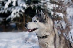 Siberian husky winter portrait royalty free stock photos