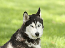 Siberian Husky With Confused Expression Royalty Free Stock Photo