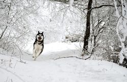 Funny dog breed Husky runs through the snowy forest royalty free stock photography