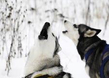 Siberian Husky yawning Stock Image