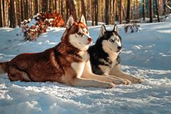 Siberian huskys som ligger på snö Royaltyfria Bilder