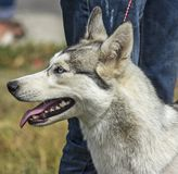 Siberian hysky. Royalty Free Stock Photo