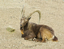 Siberian ibex Royalty Free Stock Images