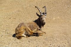 Siberian ibex Stock Photo