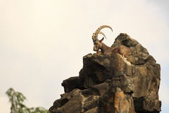 Siberian ibex Stock Photography