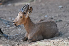 Siberian ibex. Lies in the sand royalty free stock photo