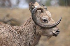 Siberian ibex Stock Image