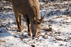 Siberian ibex (Capra sibirica). Royalty Free Stock Images