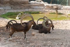 Siberian ibex (Capra sibirica). A group of Siberian ibex (Capra sibirica) resting near a small pond on a hot day royalty free stock images