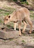 Siberian ibex Royalty Free Stock Image