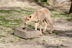 Siberian ibex Royalty Free Stock Photos