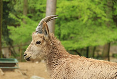 Siberian ibex female Stock Photography