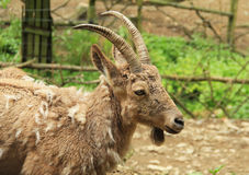 Siberian ibex fmale Royalty Free Stock Photography