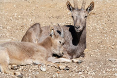 Siberian ibex love Royalty Free Stock Image