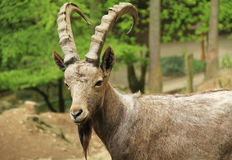 Siberian ibex male Royalty Free Stock Photography
