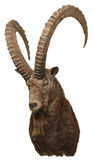 Siberian Ibex trophy Stock Photo
