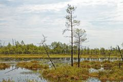 Siberian impassable swamp in the summer noon. A patch of impassable swamps in Western Siberia. Hot summer day in the taiga zone Stock Photo