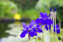 Siberian Iris Royalty Free Stock Photos