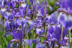 Siberian iris Stock Image