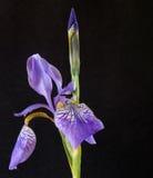 Siberian iris Arkivfoton