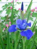 Siberian Iris. Blue Siberian Iris with bleeding hearts in the background of a perennial bed royalty free stock images