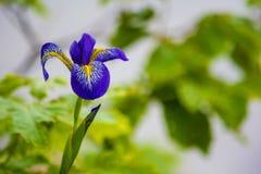 Siberian Iris royalty free stock photos