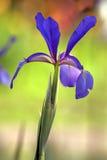 Siberian iris close up Stock Photos