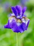 Siberian iris Royalty Free Stock Images