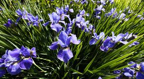 Siberian Iris flower Stock Photo