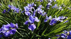 Siberian Iris flower Stock Photo