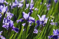 Siberian Iris flower Stock Photos