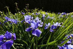 Siberian Iris flower Stock Photos