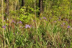 Siberian Iris (I. sibirica) Stock Images