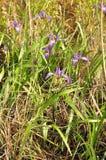 Siberian Iris (I. sibirica) Stock Photography