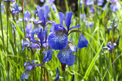 Siberian iris - iris sibirica. English garden stock photo