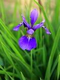 Siberian iris , Iris sibirica Stock Image