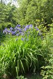 Siberian iris Iris sibirica with blue purple flowers, large pl. Ant in a rural country garden, vertical royalty free stock image