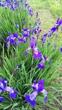 Siberian Iris Iris sibirica in spring Stock Photo