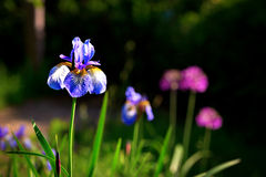 Siberian iris Royalty Free Stock Photography