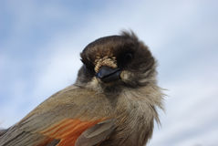 Siberian jay. On a hand against the dark blue sky Royalty Free Stock Image