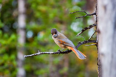 Siberian Jay Royalty Free Stock Photography