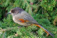 Siberian jay. Sitting on a fur-tree branch Stock Photography