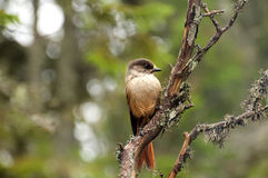 Siberian Jay Royalty Free Stock Photo