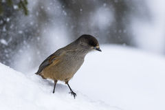 Siberian jay. And beautiful snowfall background Royalty Free Stock Photography