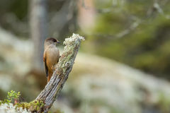 Siberian jay bird on tree stump Royalty Free Stock Image