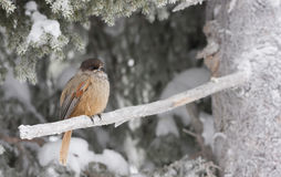 Siberian Jay on a branch. A photo of a bird called Siberian Jay or Perisoreus infaustus sitting on a branch covered with frost Stock Image