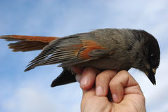 Siberian jay  on a hand. Against the dark blue sky Royalty Free Stock Image